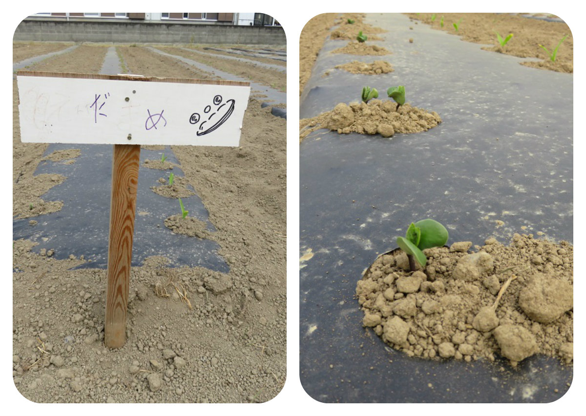 枝豆畑の様子 ちいさい芽がでてきました