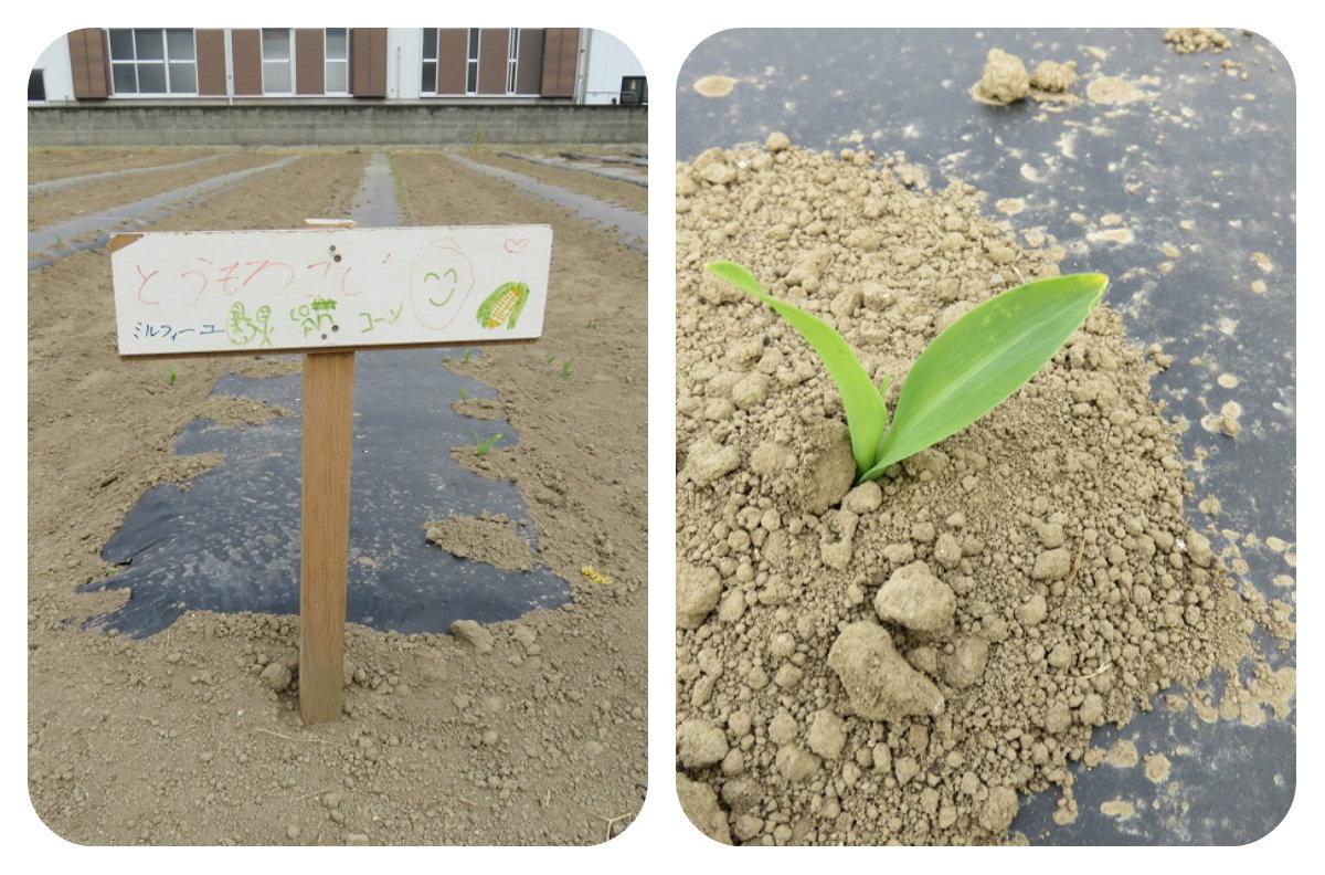 とうもろこし畑の様子 芽がでてきました
